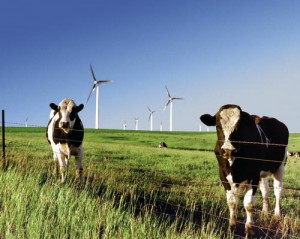 cows - windmills